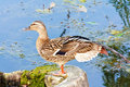 Female mallard duck on the lake Stock Photography