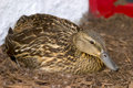 Female Mallard Duck on nest Royalty Free Stock Photo
