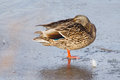 Female mallard duck standing on ice a lake Royalty Free Stock Photo