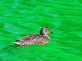 Female mallard duck swimming green dyed canal water st patrick s day indianapolis Royalty Free Stock Images