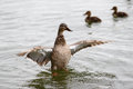 Female mallard with ducklings stretching her wings in a lake her in the background Royalty Free Stock Photo