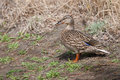 Female mallard in the grass sunning itself standing Stock Images