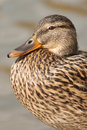 Female mallard portrait it is the of a Royalty Free Stock Photography