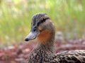 The female mallard suzy it is estimated that there are currently around million ducks of breeding age in north america there are Stock Images