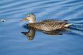 Female mallard swimming around her hunting area Royalty Free Stock Photos