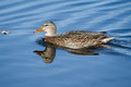 Female mallard swimming in soft focus around her hunting area Stock Photo