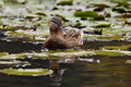 Female mallard or wild duck anas platyrhynchos swimming on pond Royalty Free Stock Images