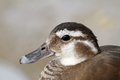 Female mandarin duck portrait over out of focus background aix galericulata Royalty Free Stock Photography
