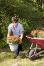 Female middle age gardener planting mums in yard Royalty Free Stock Photos