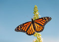 Female monarch butterfly feeding on white flower cluster of a bush against blue sky Royalty Free Stock Photography