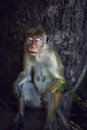 Female monkey resting toque macaque napping leaning against the thick trunk Royalty Free Stock Photo