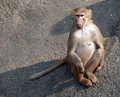 Female monkey sitting full length closeup front view on asphalt background Stock Photo