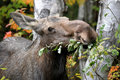 Female Moose Royalty Free Stock Photo