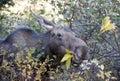 Female moose eating Stock Image