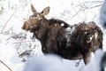 Female Moose in fresh Snow Royalty Free Stock Photo