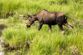 Female Moose in Grass in Colorado Royalty Free Stock Photo