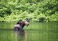 Female moose mammal B Stock Photos