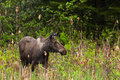 Female moose a young as come in the swamp to eat some cattail Royalty Free Stock Photo