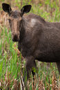 Female moose a young as come in the swamp to eat some cattail Royalty Free Stock Image
