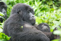Female mountain gorilla Stock Photos