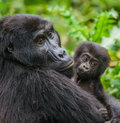 A female mountain gorilla with a baby. Uganda. Bwindi Impenetrable Forest National Park. Royalty Free Stock Photo