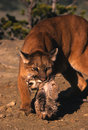 Female Mountain Lion Carrying Cub Royalty Free Stock Images