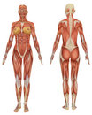Female Muscular Anatomy Front and Rear View Royalty Free Stock Image