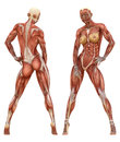 Female muscular system anatomy the consists of skeletal smooth and cardiac muscles the is the series of muscles throughout the Stock Photo