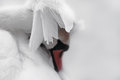 Female Mute Swan Preening Royalty Free Stock Photo
