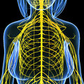 Female nervous system of chest Stock Image