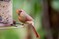 Female Northern Cardinal at birdfeeder Royalty Free Stock Photo