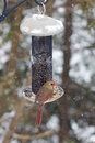 Female northern cardinal a collects seeds from a backyard bird feeder during a winter storm in ontario canada this beautiful Stock Photography