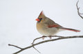 Female northern cardinal perched on a branch following a winter snowstorm Royalty Free Stock Photo