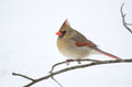 Female northern cardinal perched on a branch following a winter snowstorm Stock Image