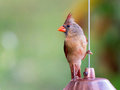 Female Northern Cardinal perches on birdfeeder Royalty Free Stock Photo