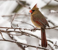 Female Northern Cardinal in snow Royalty Free Stock Photo