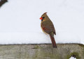 A Female Northern Cardinal On A Snowy Perch Royalty Free Stock Photo