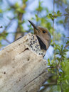 Female northern flicker at nest Royalty Free Stock Image