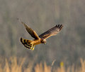 Female northern harrier in flight hunting for voles in a grass field Stock Photo
