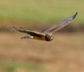 Female northern harrier in flight hunting for voles in a grass field Royalty Free Stock Photos