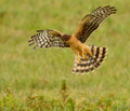 Female northern harrier in flight hunting for voles in a grass field Stock Images
