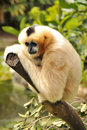 Female Northern white-cheeked gibbon Royalty Free Stock Image