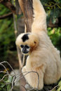 Female Northern white-cheeked gibbon Royalty Free Stock Photos