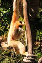 Female Northern White-Cheeked Gibbon Royalty Free Stock Photo