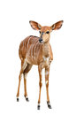 Female nyala isolated on a white background Stock Images
