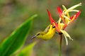 Female olive backed sunbird clings to heliconia plant a a flower the is a common bird in singapore it is a small passerine bird Royalty Free Stock Photography