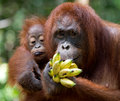 Female orangutan with a baby in the wild. Indonesia. The island of Kalimantan (Borneo). Royalty Free Stock Photo