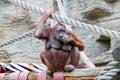 Female orangutan biting her nails Stock Photography