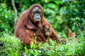 A female of the orangutan with a cub in a native habitat. Bornean orangutan (Pongo o pygmaeus wurmmbii) in the wild nature. Royalty Free Stock Photo