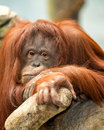 Female orangutan portrait Royalty Free Stock Photo